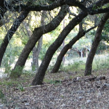oak trees at Dripping Springs