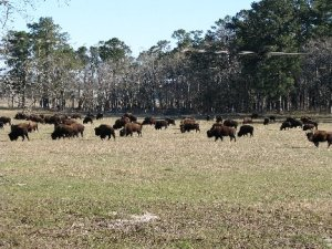 herd-of-buffalo-blog
