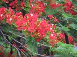 Flame tree blossoms