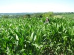 Here I am in the cornfield on the Fourth of July in Wisconsin