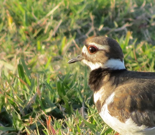 kildeer20eye-m