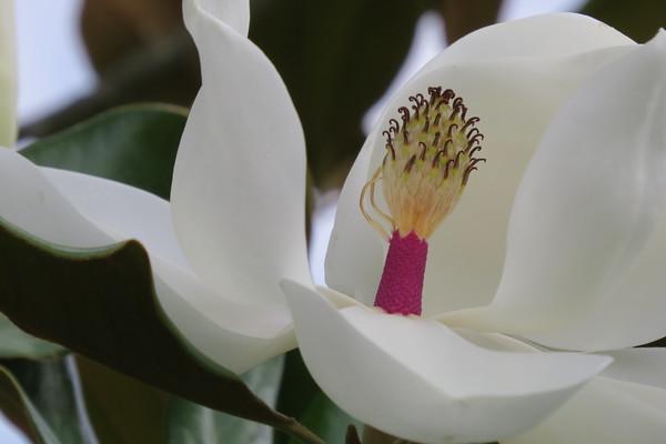magnolia20bud20closeup-m