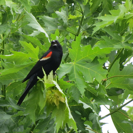 red20wing20blackbird20in20ragweed20forest-m