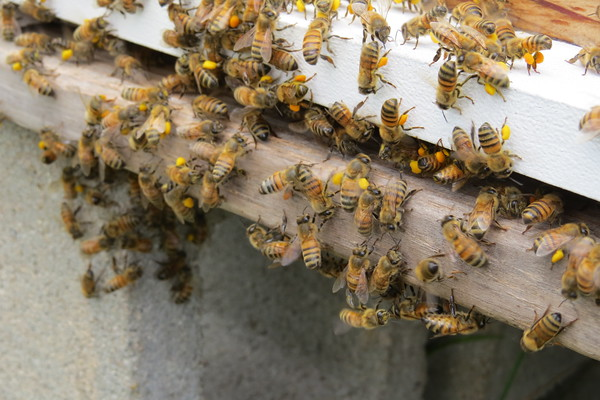 bees20with20pollen-m
