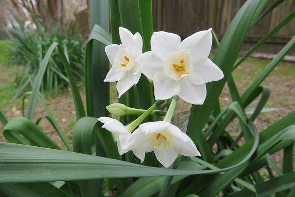 daffodil5-m