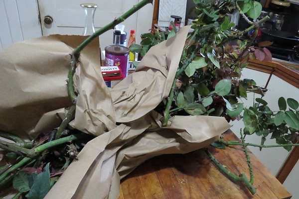 my20haul20of20rose20cuttings-m