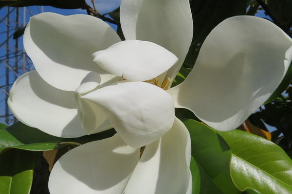 magnolia20bloom20with20cell20tower-m