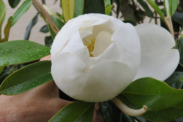 magnolia20bud202-m