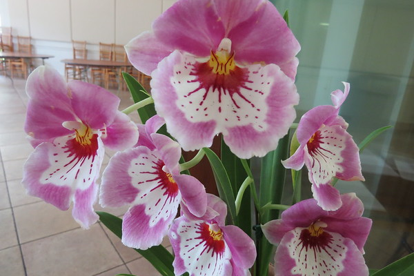 pansy20orchid20bloom-m