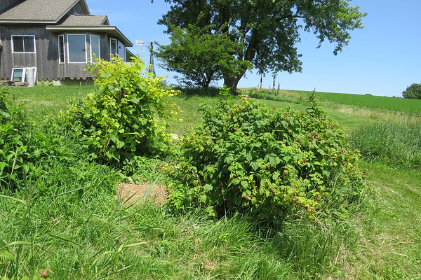 2-20raspberry20patche20weeded-m