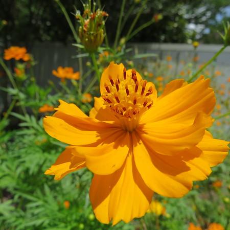 marigold20blossom-m