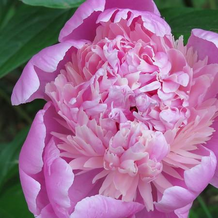 pink20peony-m