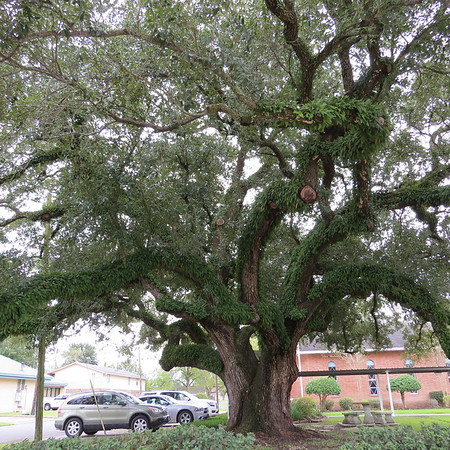 old20oak20tree20in20sulphur20louisiana-m