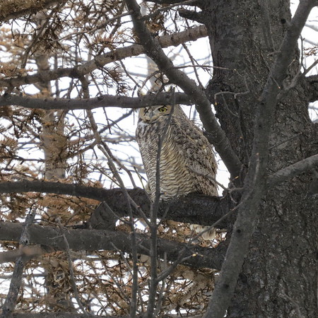 great20horned20owl20in20tree-m