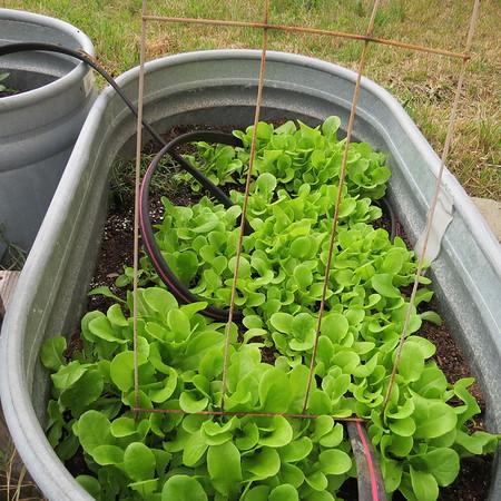 lettuce-m
