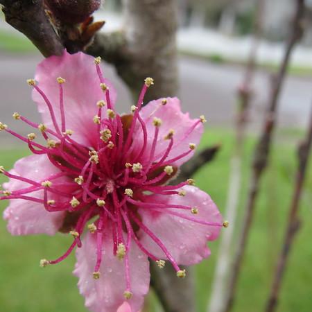 peach20tree20closer-m