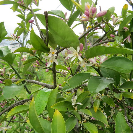 lemon20tree20flowering-m