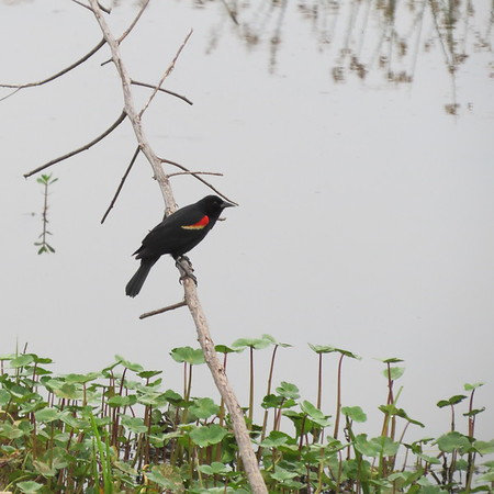 red20winged20blackbird-m