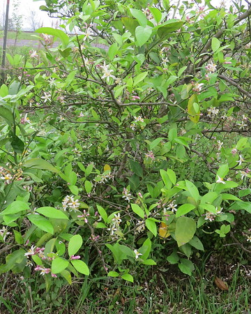 lemon20tree20in20full20bloom-m
