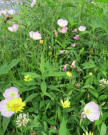 field20of20buttercups20and20weeds-m