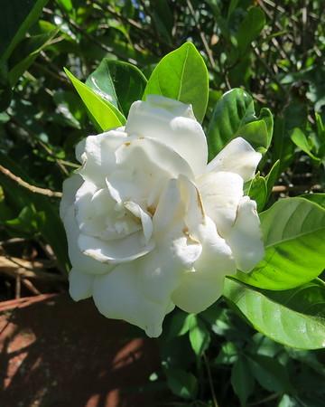 gardenia-m