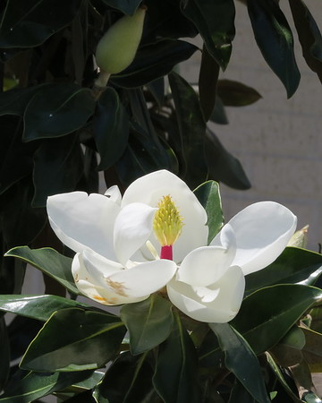 magnolia20blossom-m
