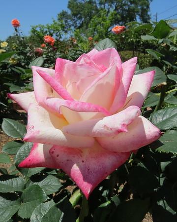 pink20rose-m