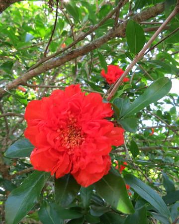 pomegranite20flower-m