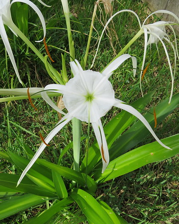 spider20lily20closeup-m