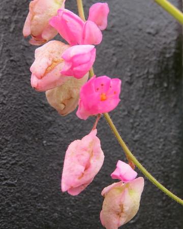 pink20vine-m